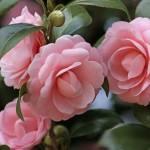 Flores para Decorar a Casa no Inverno – Espécies e Cuidados