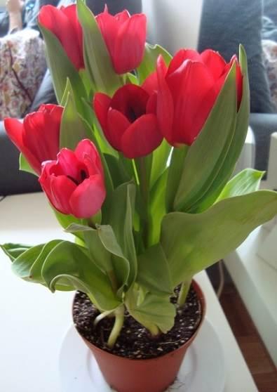 como-plantar-tulipas-em-vasos